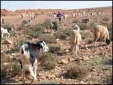 Elevage de moutons en Algérie (JPEG)